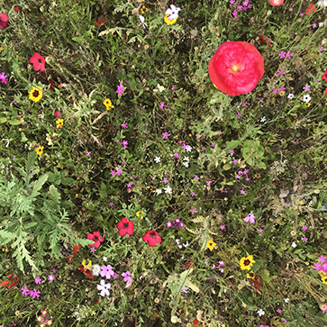 Annual wildflowers provide colour and interest in a designed meadow