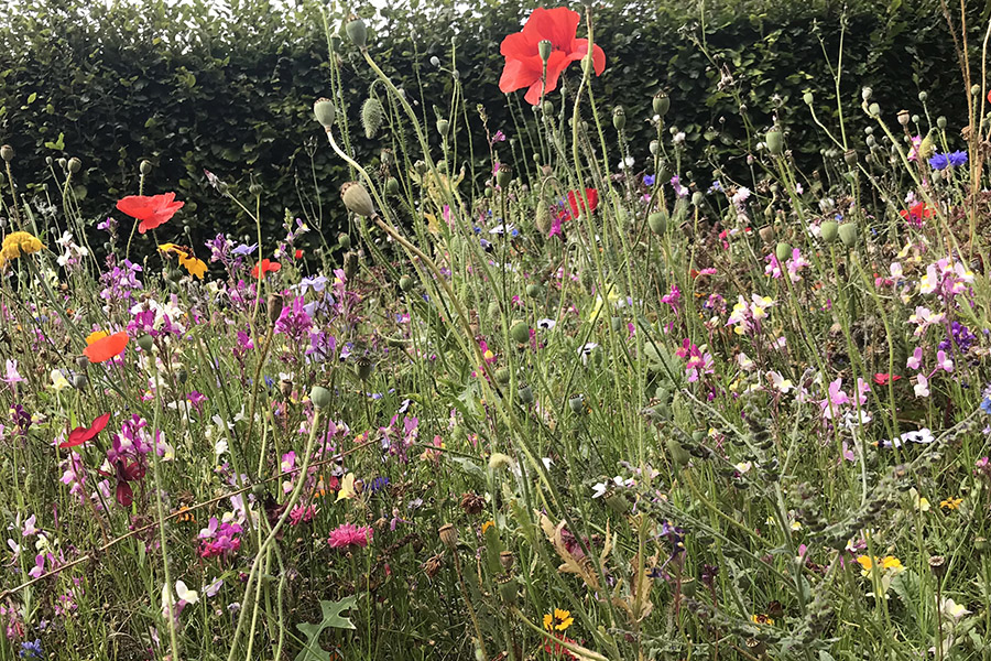 Annual planting in a designed meadow