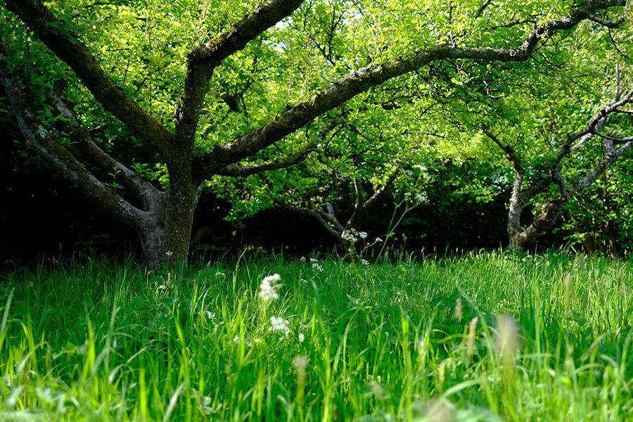 Apple trees bordering a flower rich meadow