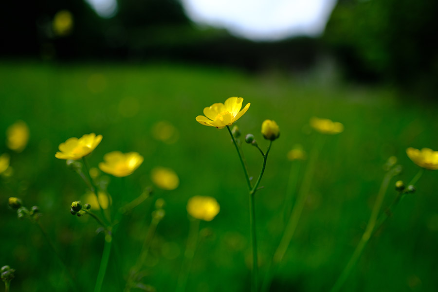 Buttercup. An early coloniser of a meadow