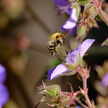 A honey bee lands on meadow crane's-bill