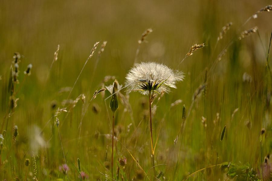 A downland meadow rich in diverse grass species