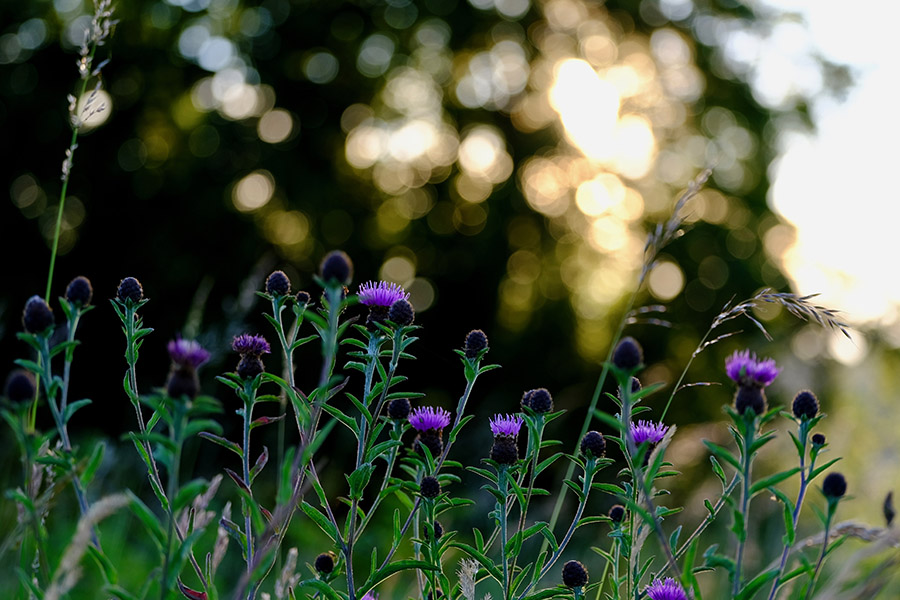 Common knapweed blooms from June to September