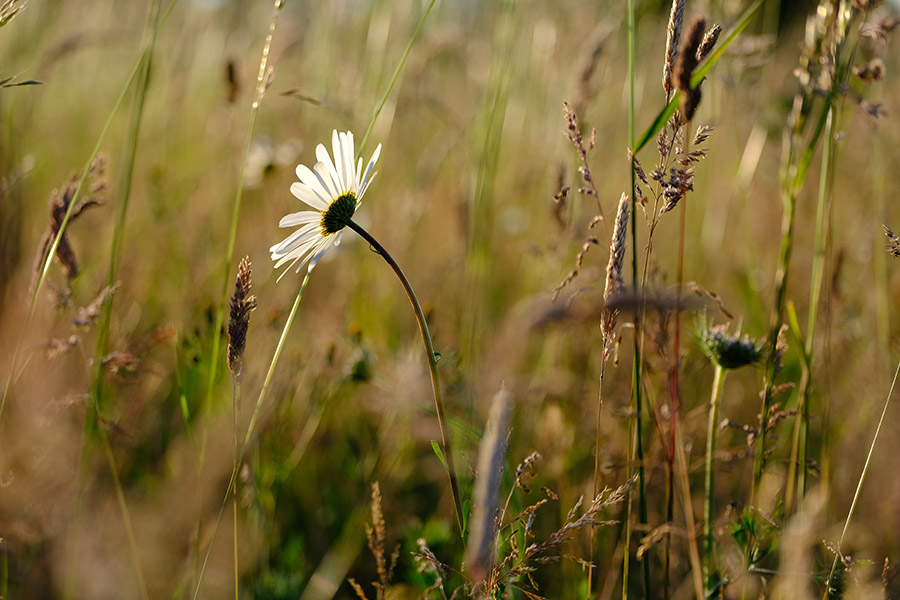 Oxeye daisy and meadow grasses