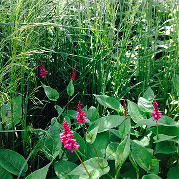 Persicaria, a member of the knotweed family
