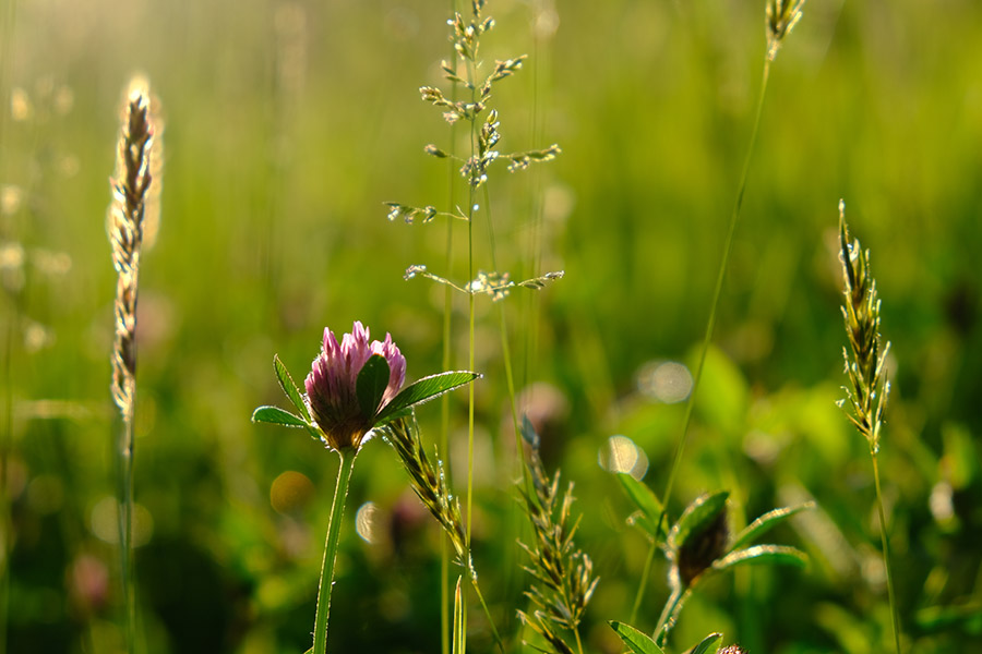Red clover and grasses in a downland meadow