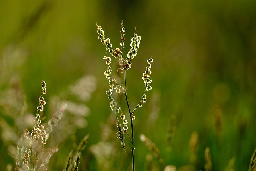 Wild sorrel seed heads in a designed downland meadow