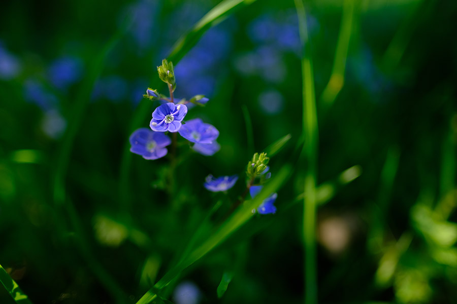 Speedwell in a designed downland meadow