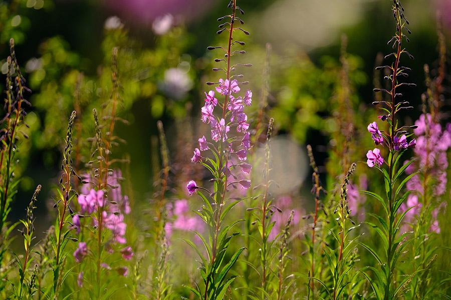Rosebay willowherb in a downland meadow